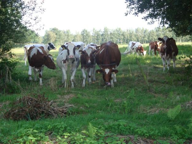 Koeien op de Rosep (5)