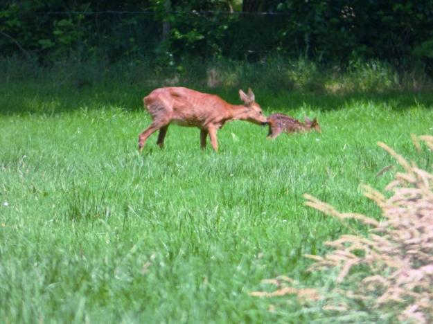 Hert met jong cp